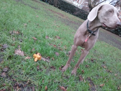 Male Weimaraner at the park