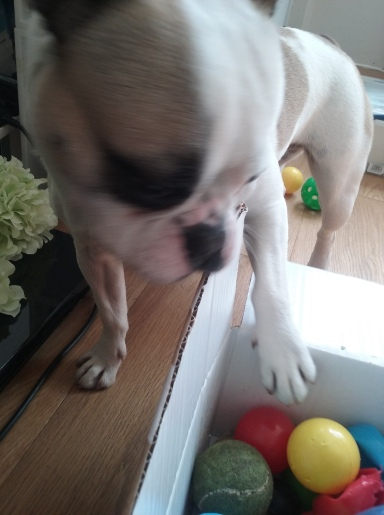 Millie the female French Bulldog playing