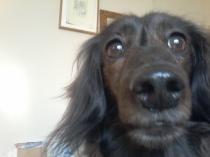 Sark the miniature long haired Dachshund