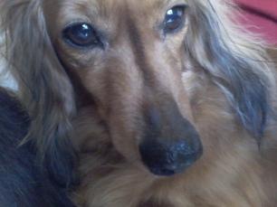 Jura the miniature long haired Dachshund