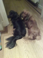 Sark and Jura the miniature long haired Dachshunds making eye contact