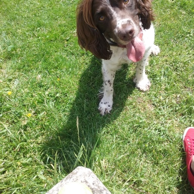 Freddie the English Springer Spaniel at the park