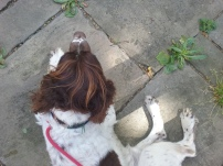 Freddie the English Springer Spaniel relaxing outdoors