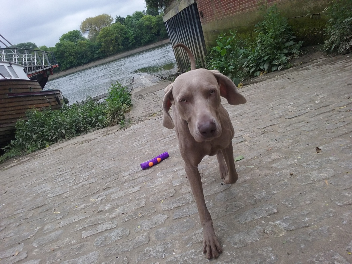 Max the Weimaraner out and about by the river Thames