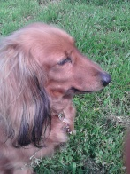 Jura the miniature long haired Dachshund