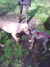 Bafo the Staffordshire Bull Terrier happily socialising