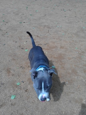Bafo the Staffordshire Bull Terrier male outdoors