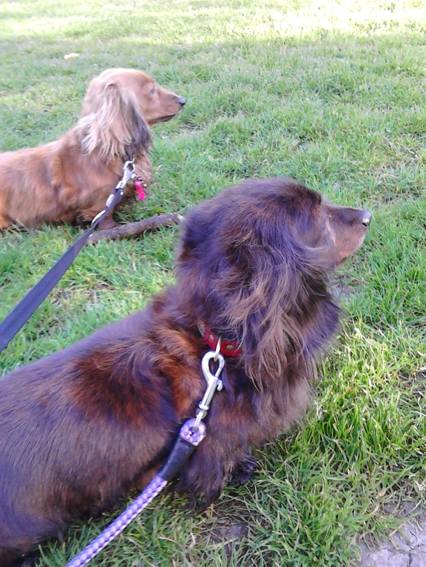 Jura and Sark the miniature long-haired Dachshunds