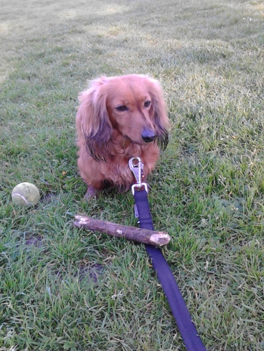 Jura the miniature long haired Dachshund outdoors