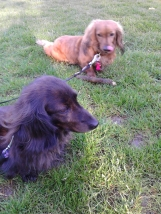 Sark and Jura the miniature long haired Dachshunds