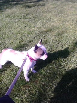 French Bulldog outdoors