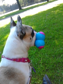 Female French Bulldog Millie holding a toy