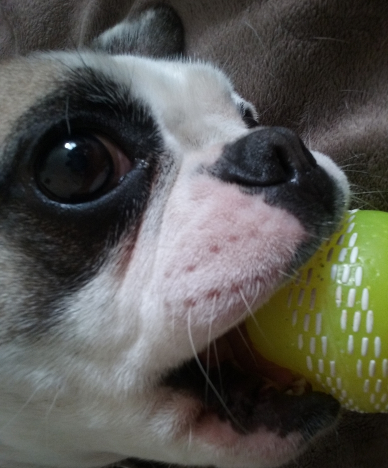 French Bulldog Millie playing with a ball