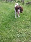 Freddie the English Springer Spaniel outdoors