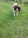 Freddie the English Springer Spaniel outdoors