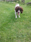 Freddie the English Springer Spaniel waiting to play