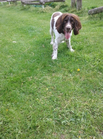Freddie the English Springer Spaniel ready to play