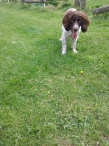 Freddie the English Springer Spaniel ready to play outdoors