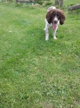 Freddie the English Springer Spaniel ready to play
