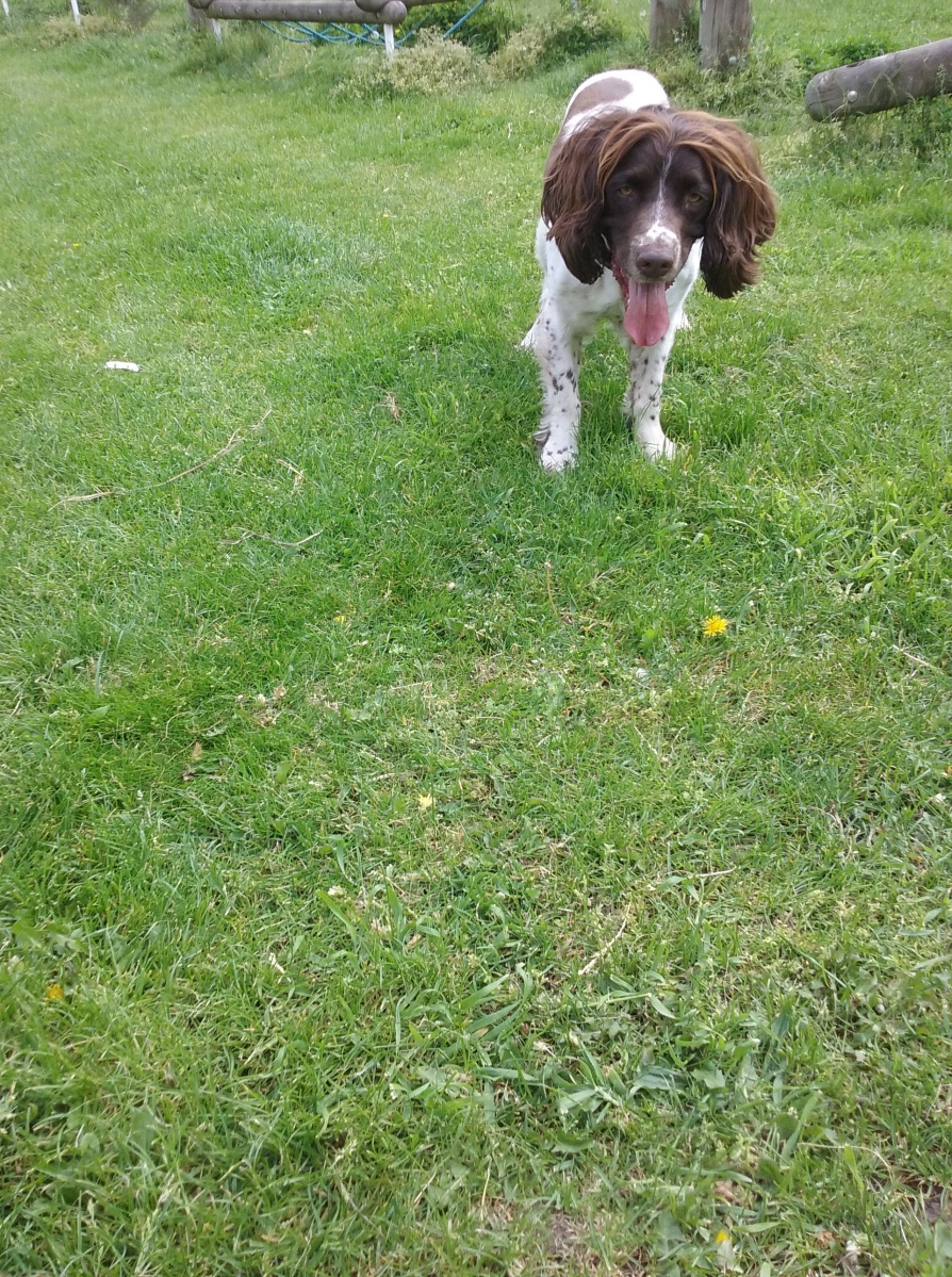 Freddie the male English Springer Spaniel ready to play