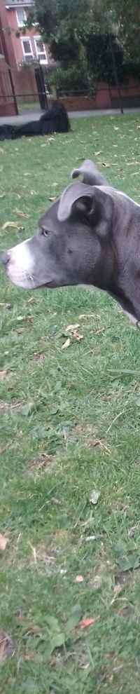 Bafo the Staffy outdoors