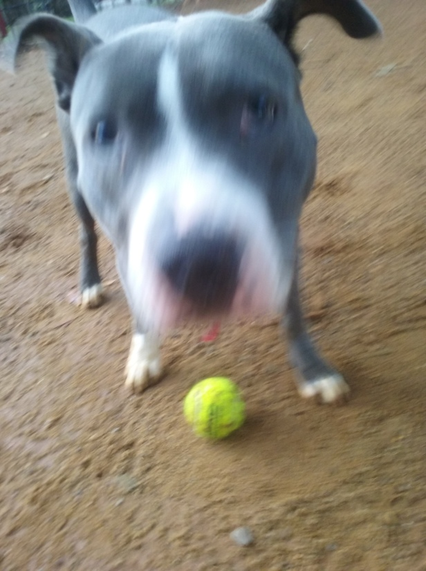Bafo the Staffy playing with a ball outdoors and looking at the camera