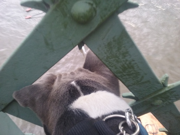 Bafo the StaffordshireBullTerrier looking down from the bridge onto the Thames