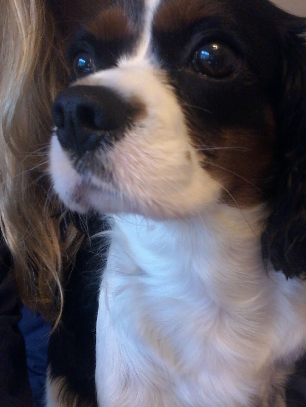 Coquette the female Cavalier King Charles Spaniel