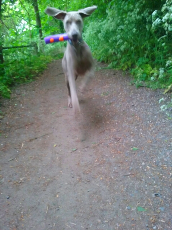 Max the Weimaraner running and playing outdoors