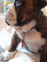 Chumley the puppy English Bulldog sitting