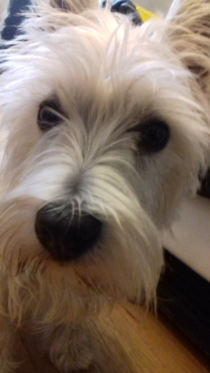 Portrait of West Highland Terrier Brus