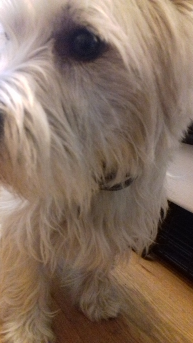 Close-up of Brus the West Highland Terrier