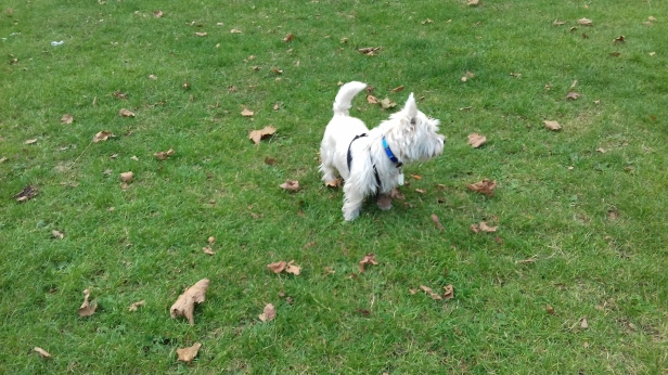 Brus the West Highland White Terrier playing outdoors