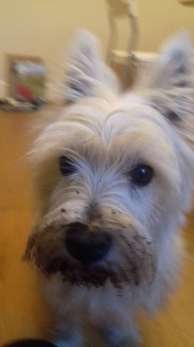 Brus the West Highland Terrier after playing with soil