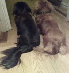 Jura and Sark female Miniature long-haired Dachshunds