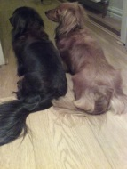Jura and Sark Miniature black and brown long-haired Dachshunds