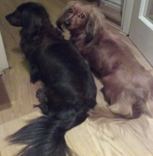 Jura and Sark Miniature long-haired Dachshunds