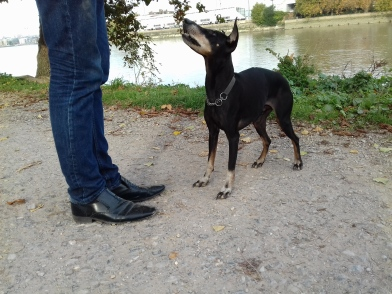 Jambo theManchester Terrier in Training