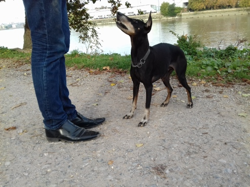 Jambo theManchester Terrier in Training