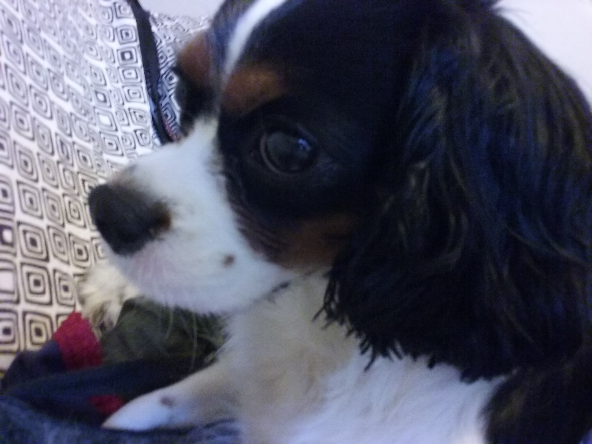 Coquette, the Cavalier King Charles Spaniel female