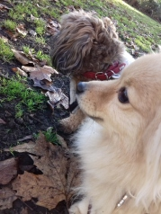 Mocca the Shih Tzu male, and Evie the omeranian outdoors