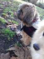 Mocca the Shih Tzu male, and Evie the omeranian out and out