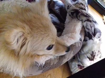 Evie the Pomeranian female relaxing