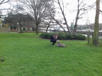 Max the Weimaraner, with Laurel, playing outdoors