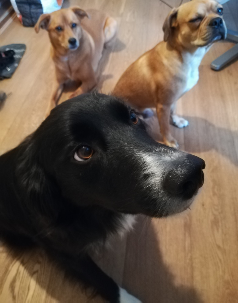 Chester, the Border Collie, Georgie, the crossbreed Golden Retriever/Labrador, and Ziggy, the crossbreed Pug/Cocker Spaniel/French Bulldog/Boston Terrier spent lost of time playing and running around in dog Day care and Stay-and-Care boarding!