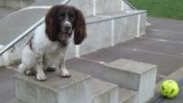 Freddie, the English Springer Spaniel, playing during his dog Walking