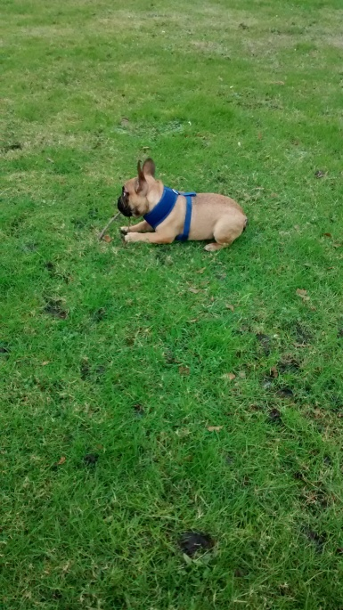 Bonnie our puppy French Bulldog playing outdoors
