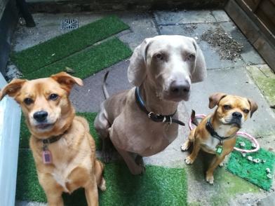 Georgie, the crossbreed Golden Retriever/Labrador, Max, the Weimaraner, and Ziggy, the crossbreed Pug/Cocker Spaniel/French Bulldog/Boston Terrier, having their photo taken!