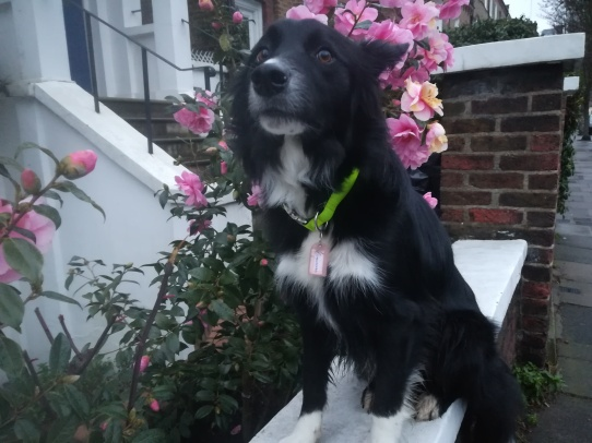 Chester, the Border Collie, out during his Stay-and-Care