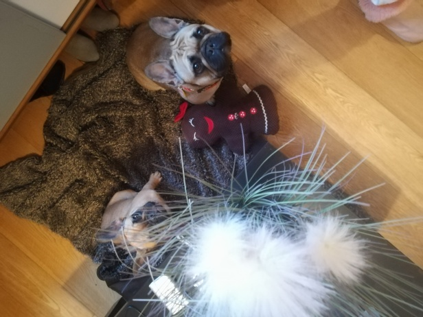 Bonnie, and her half-sister Lola, our French Bulldogs, during dog Stay-and-Care